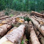 Europe's last primeval forest set to undergo brutal logging