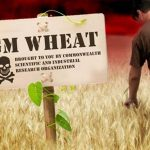GMO Wheat May 'Silence' Human Genes