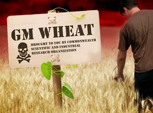 gm-wheat-field