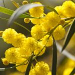 Golden wattle, more than just a pretty flower