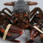 Why Crabs and Lobsters Shouldn't Be Boiled Alive