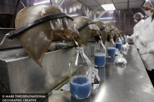 horseshoe-crab-vaccine