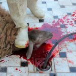 BRITAIN LEADS IN ANIMAL RITUAL SLAUGHTER