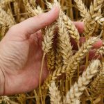 William Davis presents a powerful argument that wheat is unhealthy.