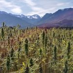 Research Traces Cannabis Plant Origins to the Tibetan Plateau 28 Million Years Ago